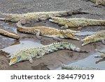 American Crocodiles Bask Along...