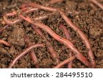 Earthworms For Fishing