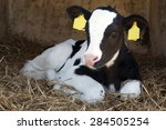 Small photo of cute young black and white calf lies in straw and looks alert