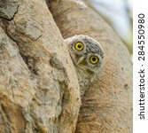 Owl  Spotted Owlet  In Nature...