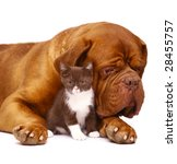 Stock photo dog and kitten on a white background 28455757