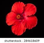 Tropical Red Hibiscus Flower O...