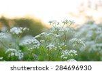 Summer Wildflowers Cow Parsley...