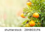 Mandarin Fruits On A Tree ...