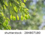 conifer  tree with bright new... | Shutterstock . vector #284807180