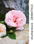 Beautiful English Rose Lies On...