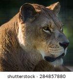 Female Lioness Profile Close Up