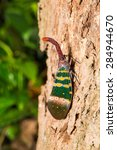 Small photo of Close up of Pyrops karenia lantern bug or planthopper clinging on the tree trunk in nature