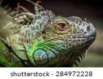 Close Up Of A Male Green Iguan...