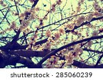 apricot tree branch with... | Shutterstock . vector #285060239