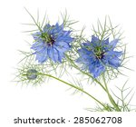 Small photo of Beautiful spring annual. Love-in-a-mist isolated on white. Nigella damascena.