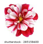 Two Tone  White And Red Dahlia...