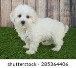 Sweet Little Maltipoo Puppy...