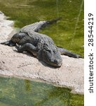 Small photo of Alligator Mississipiensis enjoying the sun