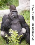 Gorilla Scratching His Face ...