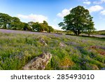 a beautiful bluebell meadow at...
