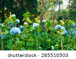 purfect blue blossoms of... | Shutterstock . vector #285510503