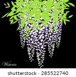 blooming wisteria branch with... | Shutterstock .eps vector #285522740