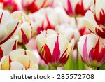 Two Tone White Red Tulip...