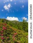 Small photo of Alpine Rose On Mt. Mirnock