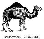 camel skeleton  vintage...   Shutterstock .eps vector #285680333