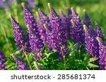 lupinus  lupin   lupine field... | Shutterstock . vector #285681374