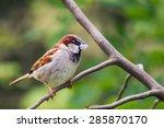 house sparrow  passer... | Shutterstock . vector #285870170