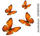 Small photo of Set of beautiful flying orange butterfly, the yeoman butterfly on white background