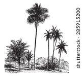 sago  ordinary palm tree  areca ... | Shutterstock .eps vector #285915200
