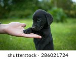 Stock photo black puppy of labrador and hand on the green grass background 286021724