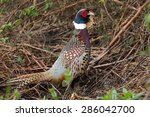 Male Ring Necked Pheasant ...