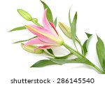 beautiful lily isolated on a... | Shutterstock . vector #286145540
