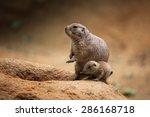 Black Tailed Prairie Dog ...