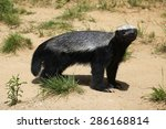 Small photo of Honey badger (Mellivora capensis), also known as the ratel. Wildlife animal.
