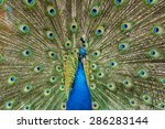 Pattern Of Peacock Fan With...