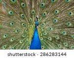 Pattern Of Peacock Fan With...