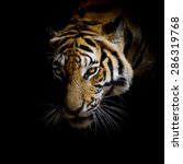 Close Up Face Tiger Isolated - Fine Art prints