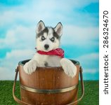 Stock photo cute blue eyed husky puppy standing in a bucket outdoors with a blue sky behind him along with 286324670