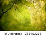 Magic Blurry Sunny Beech Leaf...