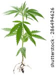 Wild Cannabis Plant. Isolated...