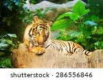 sumatran tiger roaring   Shutterstock . vector #286556846