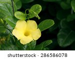 Small photo of Bush Trumpet blooming (Allamanda neriifolia)