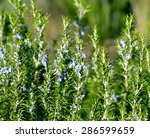 Blossoming Rosemary Plant