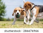 Two Beagle Dogs Playing With...
