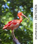 scarlet ibis  eudocimus ruber ... | Shutterstock . vector #286732826