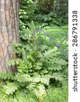 Small photo of acanthus plant under a tree / acanthus plant/ acanthus
