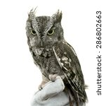 Stock photo  eastern screech owl are found wherever trees are and they re even willing to nest in backyard 286802663