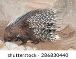 the cape porcupine or south... | Shutterstock . vector #286830440