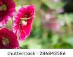 Hollyhocks And Mantis