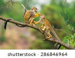 Two common squirrel monkeys ...